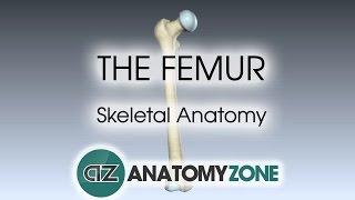 The Femur: Skeletal Anatomy