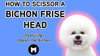 How to trim a bichon head