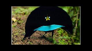 видео Чудный брачный танец райских птиц