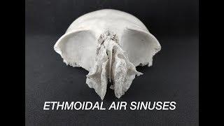 ETHMOIDAL AIR SINUSES