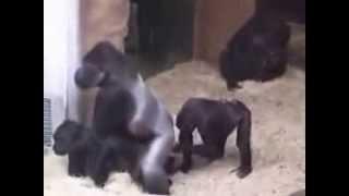 Две гориллы трахаются а третья на подхвате