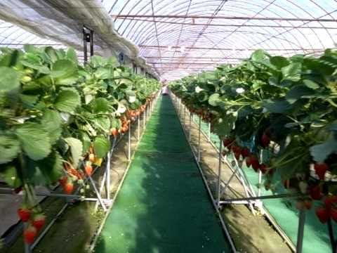 Walking Through Strawberry Greenhouse 110114 Youtube