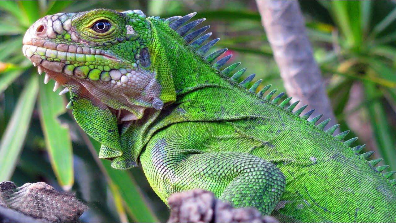 Огромная и безумно красивая ящерица - ИГУАНА В ДЕЛЕ! Быстрая, ловкая, страшная и дерзкая рептилия.