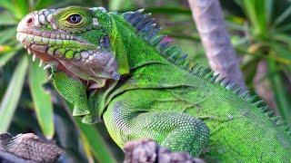 Огромная и безумно красивая ящерица - ИГУАНА В ДЕЛЕ! Быстрая, ловкая, страшная и дерзкая рептилия. смотреть онлайн в хорошем качестве - VIDEOOO