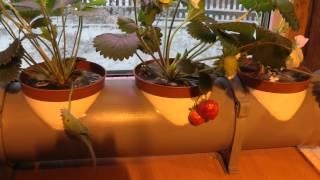 Клубника на гидропонике.  Минусинск.(Выращивание клубники в домашних условиях. Вкус и запах не передается!, 2014-12-06T10:37:41.000Z)