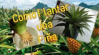 Como Plantar una Piña en Casa | Cultivo de Piña