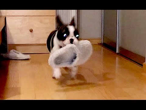 French Bulldog Pixel is Obsessed with Stealing Slippers (part 1)