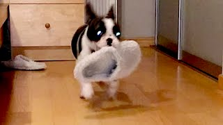 French Bulldog Pixel is Obsessed with Stealing Slippers