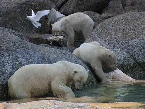 Polar bears feeding on a whale