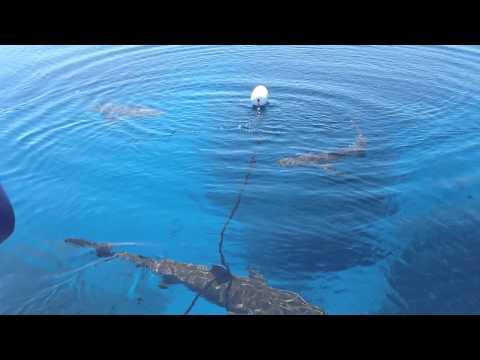 SHARKS BAHAMAS (EXUMAS@Warderick Wells Cay) APRIL 2012