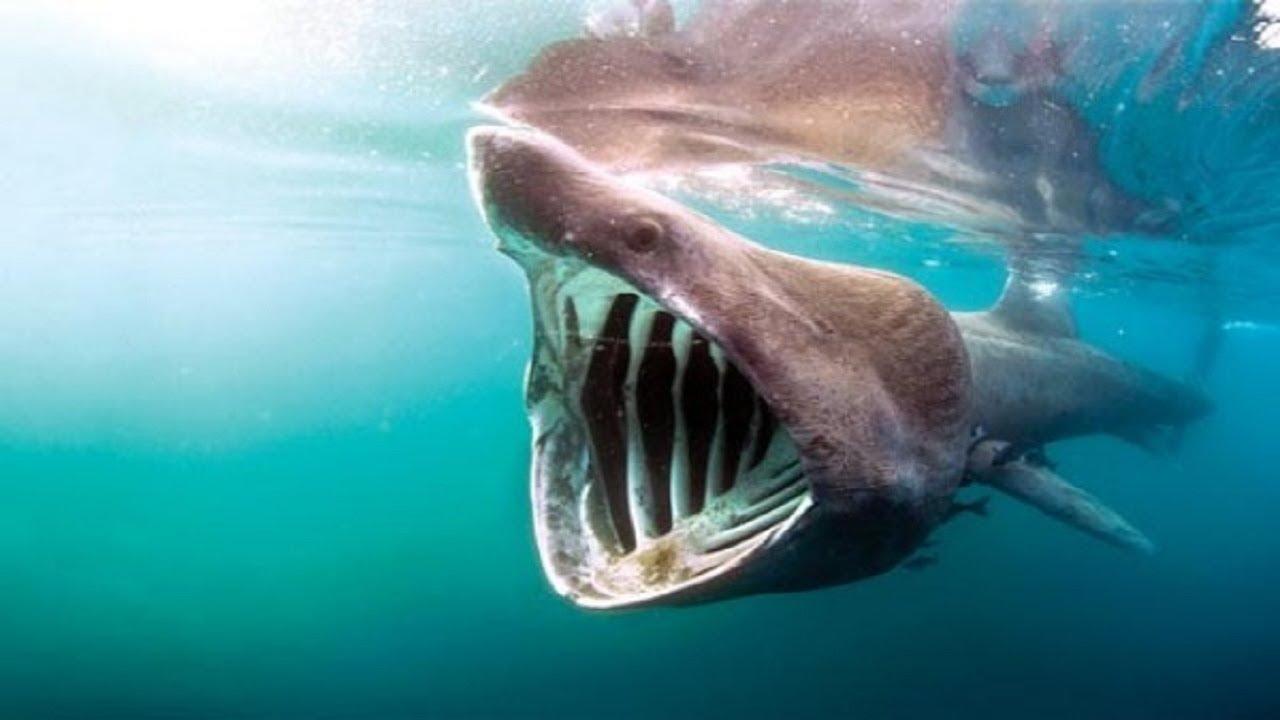 سمك القرش النادر صاحب الفك الضخم Youtube