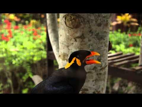 "!!WOW!! TALKING MYNAH BIRD - Amazing speaking bird, says ""Im Mr. Speaker"" ""Sawadika"" ""Hello"" ...."