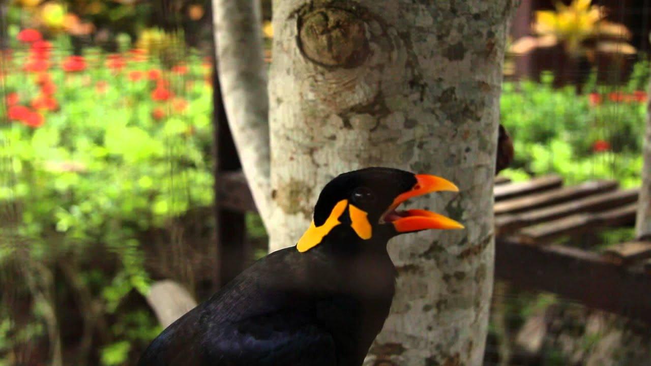!!WOW!! TALKING MYNAH BIRD - Amazing speaking bird, says ... - photo#10