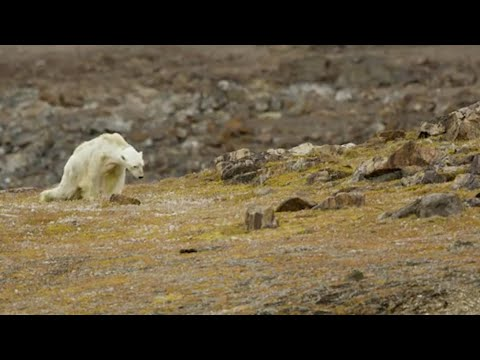 Video of starving polar bear in Canada prompts climate change questions