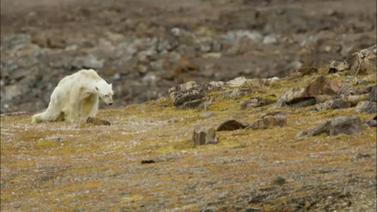 Bear Osos Videos Porno soul-crushing' video of starving polar bear exposes climate