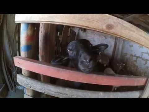 Goats Yelling Like Humans   Talking Goats of Odessa Zoo