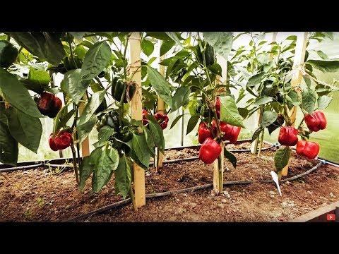 Как выращивать перец в теплице видео