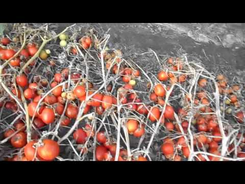 томат сорта описание красная фото шапочка