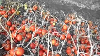 Как вырастить помидоры, сорт
