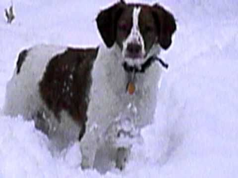 Brittany Dog Playing In The Snow