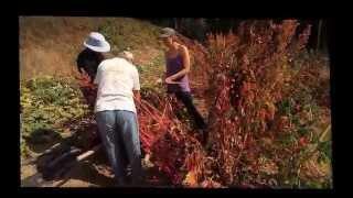 Galiano Island | Harvesting Quinoa from the Galiano Food Program | 15Sep15