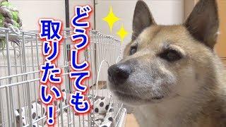 柴犬リキは父ちゃんとお部屋で楽しくボール遊びをしてました! 高いとこ...