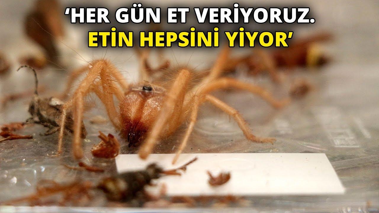 Et yiyen örümceği, cam fanusta besliyorlar... 'Her gün et veriyoruz. Etin hepsini yiyor'