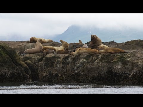 Investigating Steller Sea Lion Populations