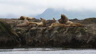 Investigating Steller Sea Lion Populations