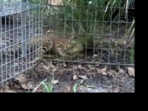 Savannah Rescue Serval/Cat- Big Cat TV