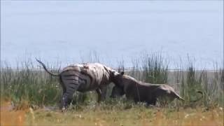 Lion Hunting Lone Zebra