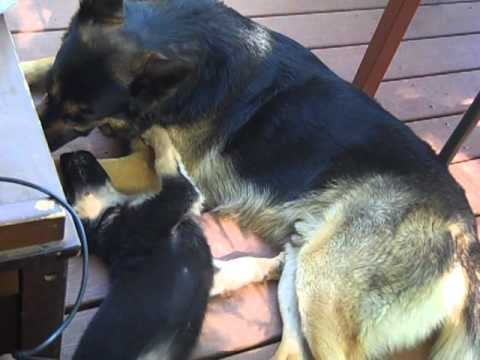 Furry Labrador playing with German Shepherd Puppy from YouTube · Duration:  1 minutes 19 seconds
