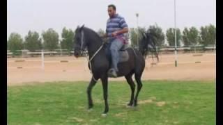 خيل الرقص المصري في مزرعة في العبدلي بالكويت