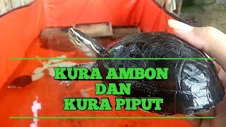 MENGENAL KURA AMBON DAN KURA PIPUT..