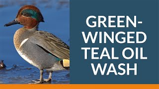 Oil Wash of Green-winged Teal | Wildlife Rescue Association of BC A beautiful Green-winged Teal was covered in motor oil when it arrived at Wildlife Rescue. The team knew it had to do something or the bird would die. Oil is ..., From YouTubeVideos