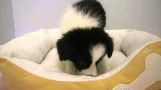 生年月日:2015/8/6 性別:メス ♀ カラー:ブラック&ホワイト.