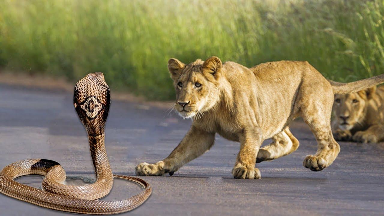 Can King Cobra Kill A King Lion ?
