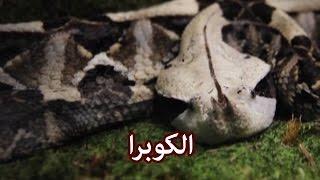 حيوانات - الكوبرا