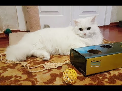 Turkish Angora cat doesn't react to a toy