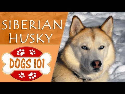 Dogs 101 - SIBERIAN HUSKY - Top Dog Facts About the SIBERIAN HUSKY