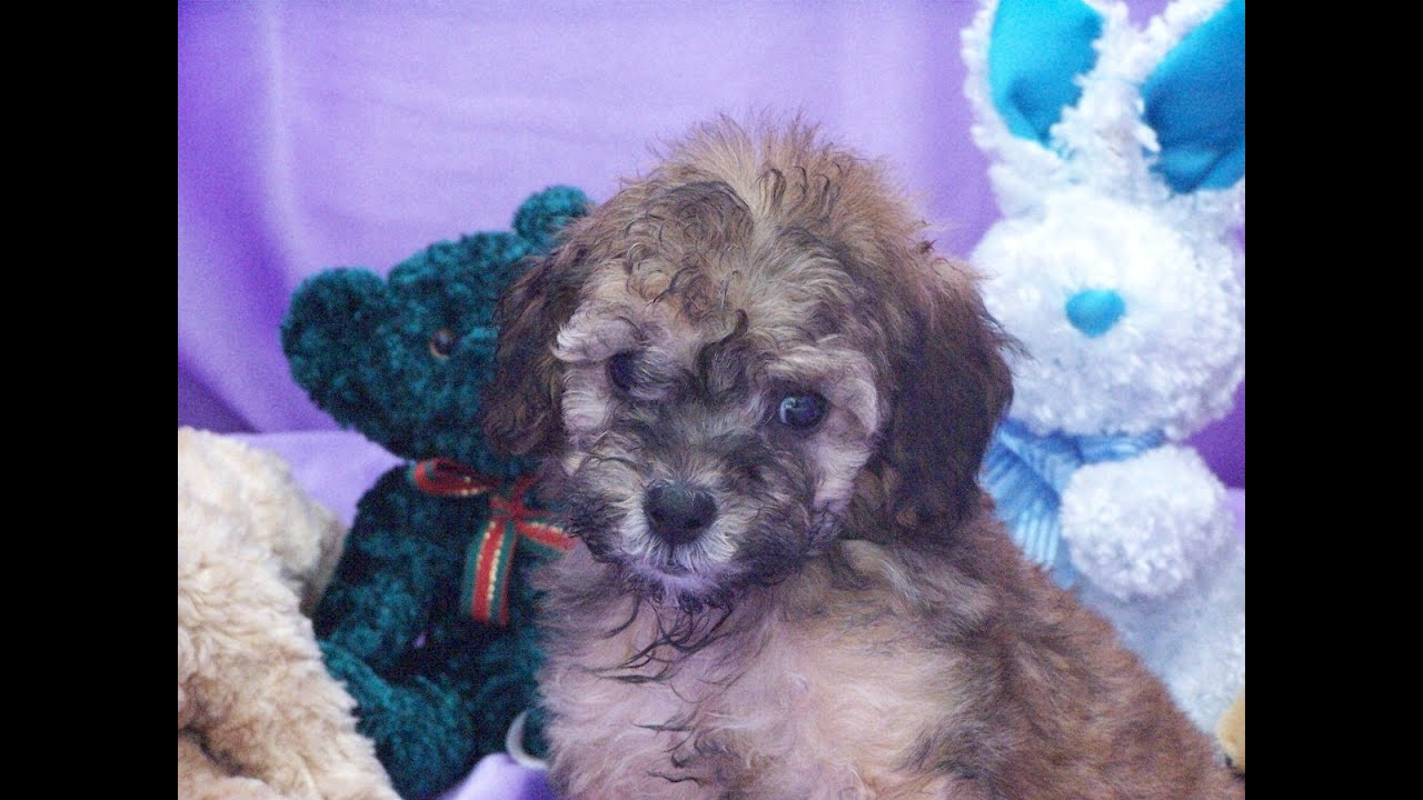 Toy Poodle, Puppies, Dogs, For Sale, In Phoenix, Arizona ...