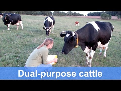 Improving health in native dual-purpose cattle (2-Org-Cows)