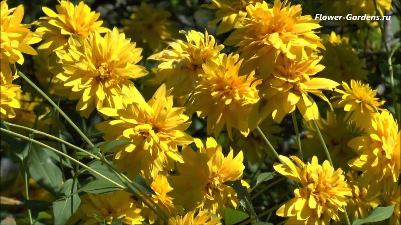 фото цветы золотые шары