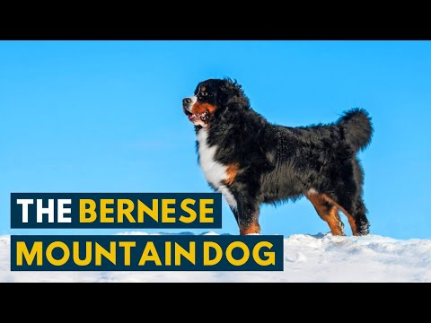 This Is Why The Bernese Mountain Dog Is Called A Forever Puppy!