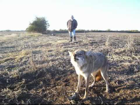 Trapping coyotes in mud, raccoon trapping, dog proof traps, muskrat trapping, trapping radio
