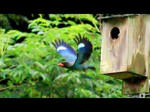 """""""森の宝石"""" ブッポウソウ (3-Jul-2016) Dollarbird (Eurystomus orientalis)"""