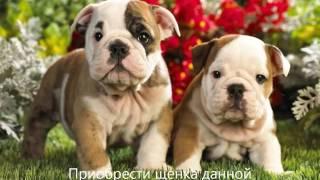 Топ 20 самых дорогих собак мира