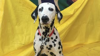 Dalmatian Dog Breed | டால்மேஷன் நாய்கள் | Dog Breed Lover