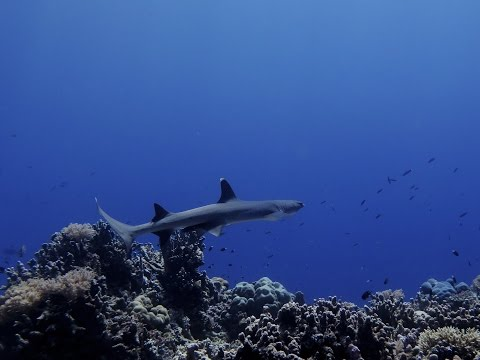 Diving in Tubbataha, Philippines: sharks, mantas and more