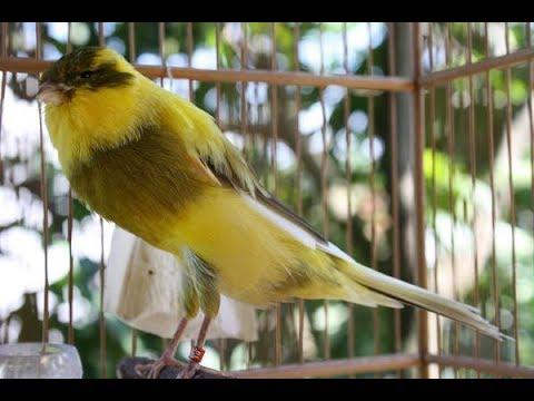 Download Lagu Suara Burung Kenari Yorkshire Gacor Kicau Panjang